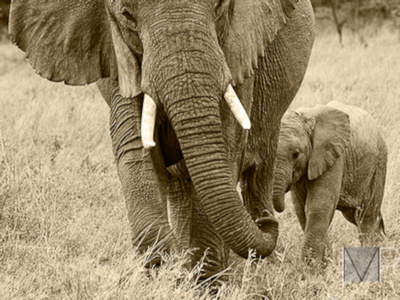 Elephants in Sepia, Child following Mom