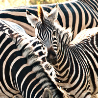 Zebra watching