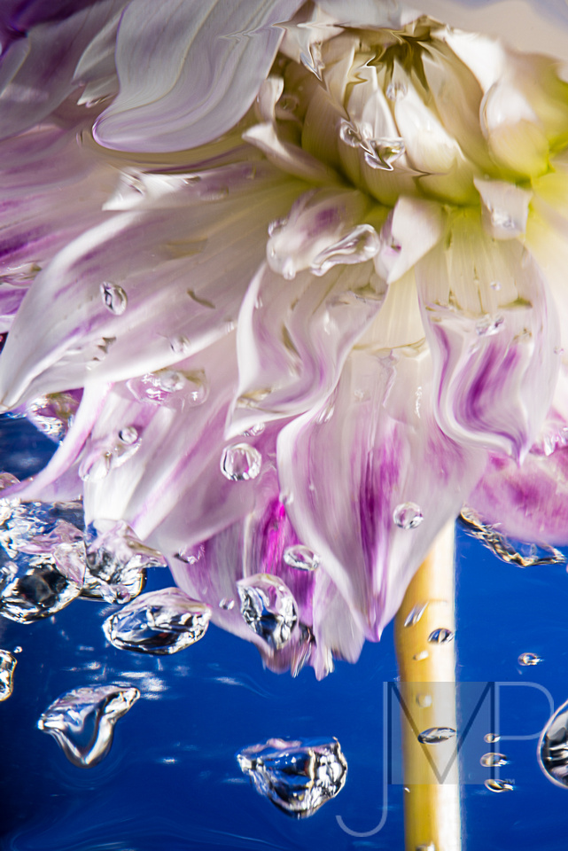 dahlia in water with bubbles against blue