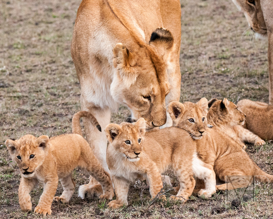Cubs with Mom