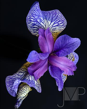 Dance of the Iris
