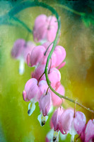 Spring parade of bleeding hearts