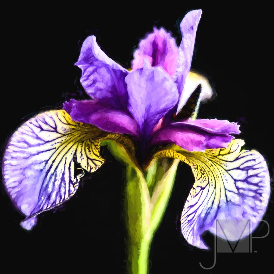 Monet Iris