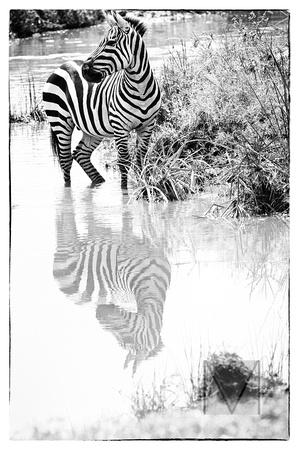 Zebra reflected