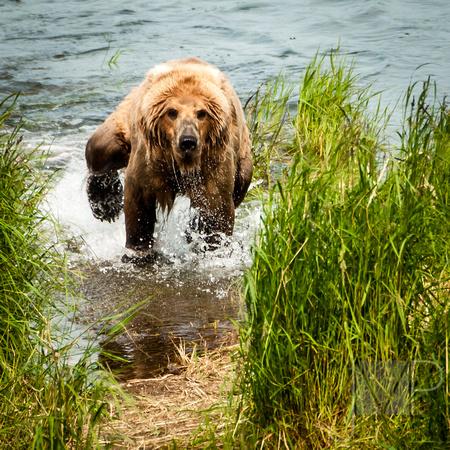 Bear Frenzy