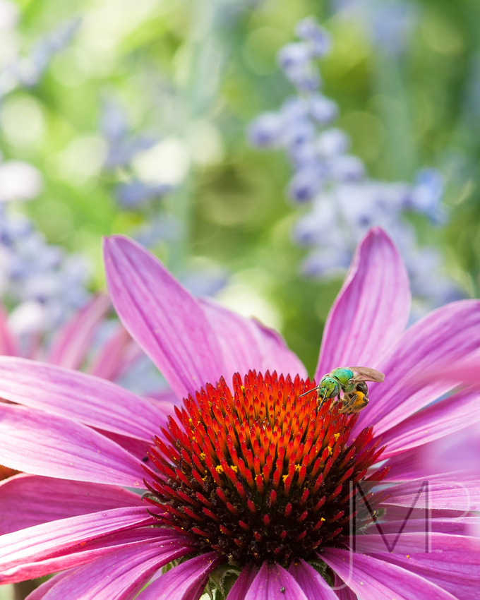Cone-flower with bug