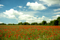 Poppy Field of Dreams