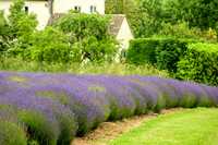 Lavender with cottage