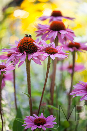 Coneflower in my garden