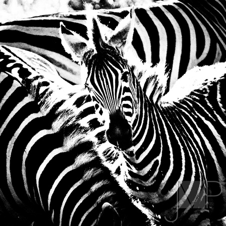 Zebra Watching