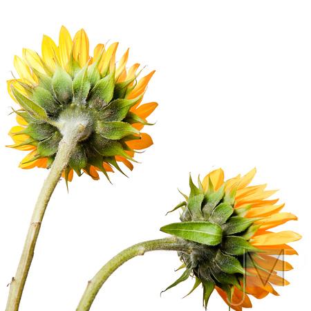 Sunflower Backs