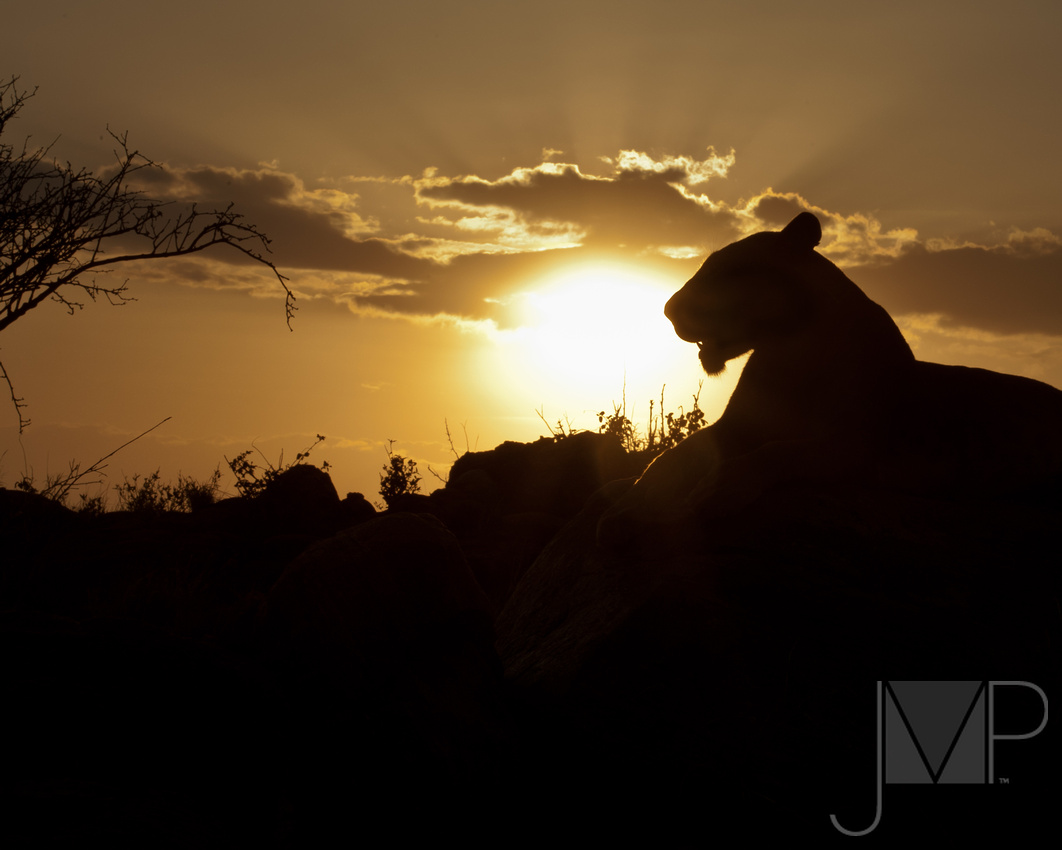lion, backlight, in sunset, as silhoette