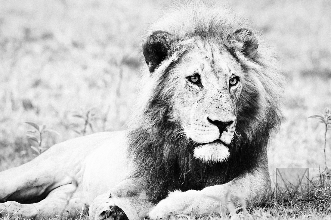 Lion in B&W