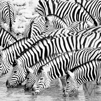 zebra baby at watering hole