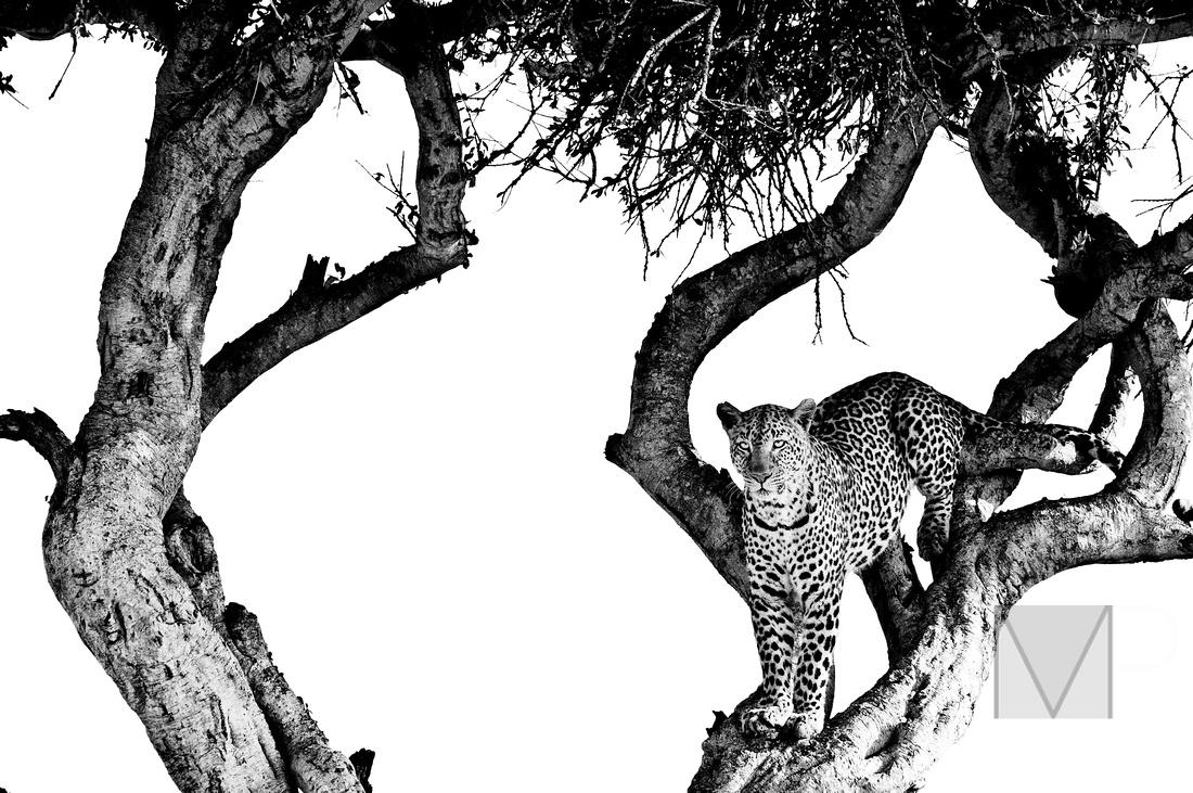 leopard in B&W
