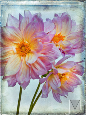 Dahlias with texture
